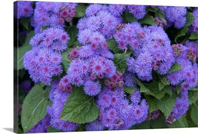 Ageratum (Ageratum sp) ariella power violet variety flowers