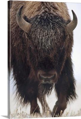 American Bison (Bison bison) portrait in snow, North America