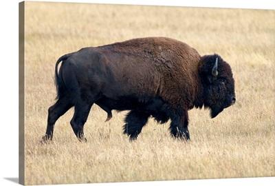 American Bison bull, Grand Teton National Park, Wyoming