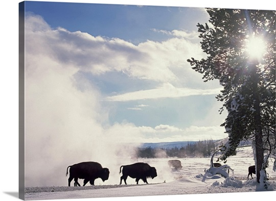 Winter Wall Art american bison in winter yellowstone national park wyoming wall