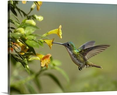 Andean Emerald (Amazilia franciae) hummingbird feeling on yellow flower, Ecuador