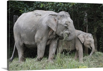 Asian Elephant (Elephas maximus) mother and baby eating grass, Saba, Malaysia