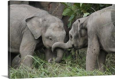 Asian Elephant (Elephas maximus) young playing, Saba, Malaysia