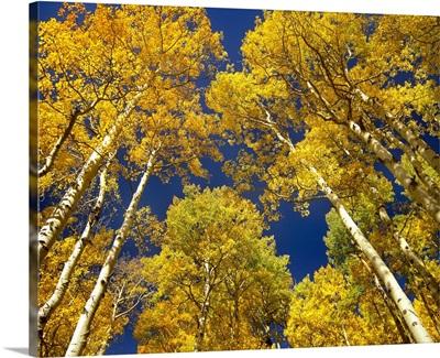 Aspen grove in fall colors, Maroon Bells, Snowmass Wilderness, Colorado