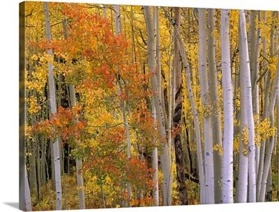 Aspens at Independence Pass, Colorado