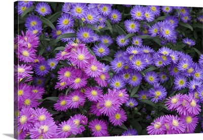 Aster (Aster sp) flowers