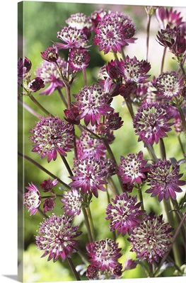 Astrantia (Astrantia sp) dark shiny eyes variety flowers