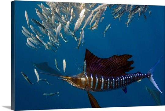 atlantic sailfish feeding wall art canvas prints framed prints
