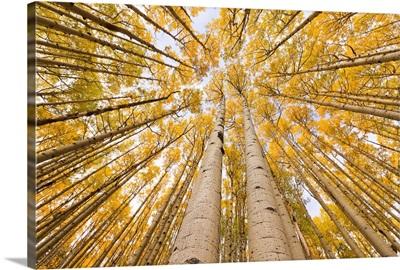 Autumn Quaking Aspen Rocky Mts Colorado