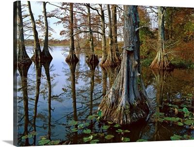 Bald Cypress at upper Blue Basin, Reelfoot National Wildlife Refuge, Tennessee