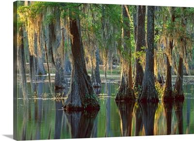 Bald Cypress (Taxodium distichum) swamp, Sam Houston Jones State Park, Louisiana