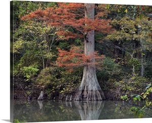 Bald Cypress Tree In Swamp White River National Wildlife