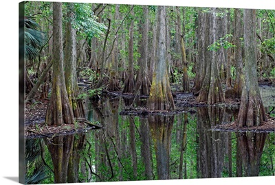 Bald Cypress trees in flooded swamp, Highlands Hammock State Park, Florida
