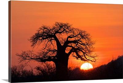 Baobab tree at sunset, Ruaha National Park, Tanzania