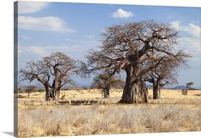 Baobab trees, Ruaha National Park, Tanzania