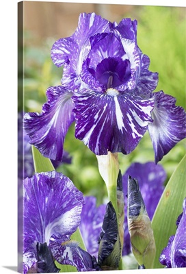 Bearded Iris (Iris germanica) batik variety flowers