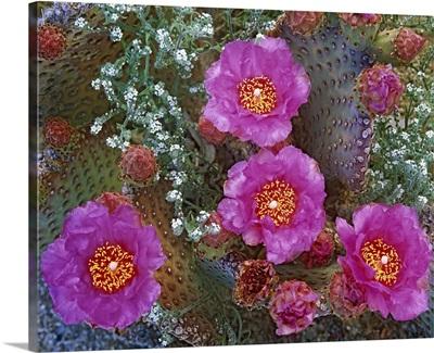 Beavertail Cactus (Opuntia basilaris) flowering, Arizona