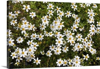 Beggartick (Bidens sp) alba variety flowers