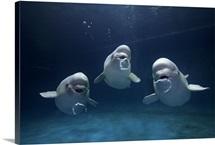 Beluga whale trio blowing toroidal bubble rings