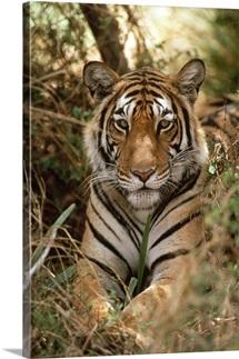 Bengal Tiger portrait, Ranthambore National Park, India