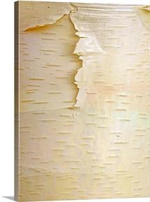 Birch (Betula sp) close up of tree trunk, North America