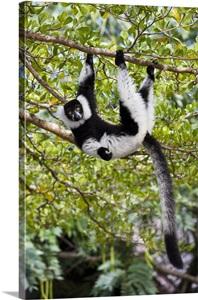 Black And White Ruffed Lemur Hanging In Tree Madagascar