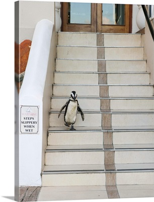 Black-footed Penguin descending stairs, Boulders Beach, South Africa
