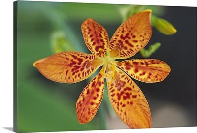 Blackberry Lily (Belamcanda chinensis) flower