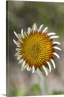Blacksamson Echinacea flower, Spruce Woods Provincial Park, Manitoba, Canada