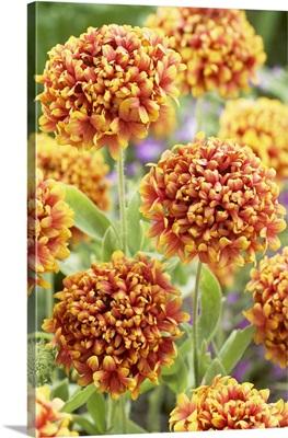 Blanketflower (Gaillardia sp) dakota reveille variety flowers