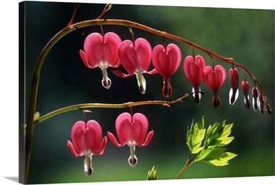 Bleeding Heart (Dicentra spectabilis) flowers