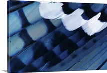 Blue Jay (Cyanocitta cristata) feathers, Texas