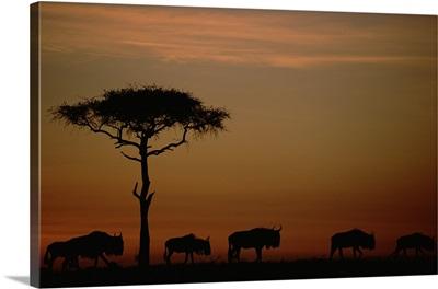Blue Wildebeest (Connochaetes taurinus) herd migrating at sunset, Kenya