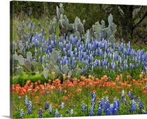 Bluebonnet, Paintbrush and Pricky Pear cactus, Texas