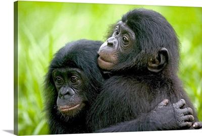 Bonobo pair of orphans hugging,  Democratic Republic of the Congo