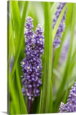 Border Grass (Liriope muscari) big blue sense variety flowers