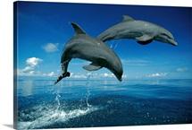 Bottlenose Dolphin (Tursiops truncatus) pair, Caribbean
