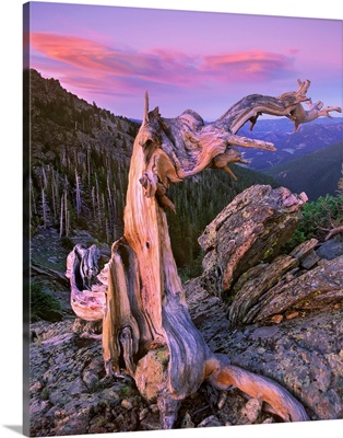 Bristlecone Pine tree overlooking forest, Rocky Mountain National Park, Colorado