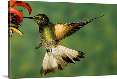 Buff-tailed Coronet hummingbird feeding on flower, Andes, Ecuador