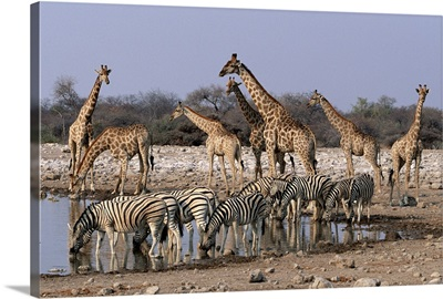 Burchell's Zebra and Giraffe  at waterhole, Etosha National Park, Namibia