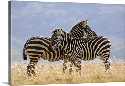 Burchell''s Zebra pair, Lake Nakuru National Park, Kenya
