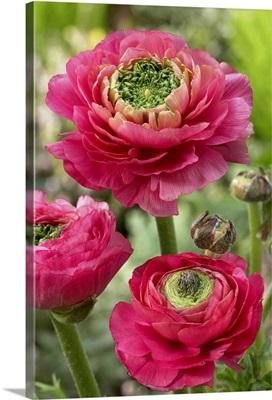 Buttercup (Ranunculus sp) mirabelle vert variety flowers