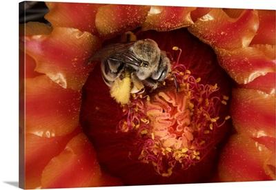 Cactus Bee (Diadasia sp) feeding on barrel cactus nectar, Tucson, Arizona
