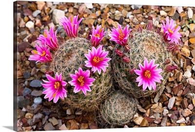 Cactus flowering, Arizona