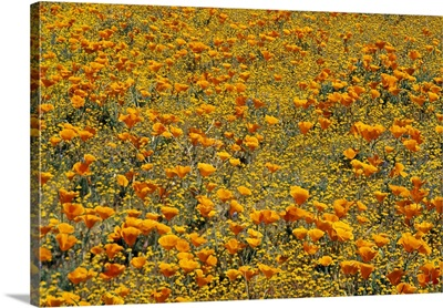 California Poppies and Golden Yarrow California