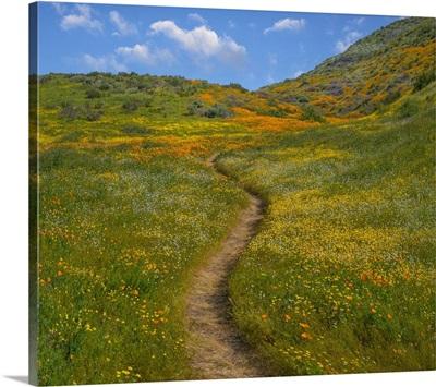California Poppies, Desert Bluebells  In Spring, Diamond Valley Lake, California