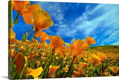 California Poppies In Spring, Lake Elsinore, California