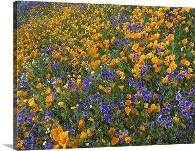 California Poppy and Desert Bluebell flowers, Antelope Valley, California