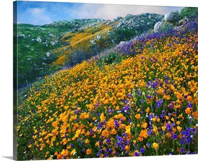 California Poppy and Desert Bluebell flowers, Canyon Hills, California