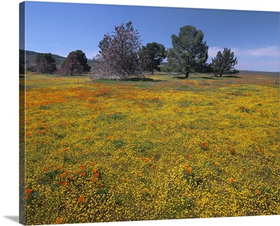 California Poppy and Eriophyllum flowers in field, Antelope Valley, California